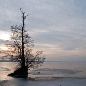 The Irrepressible Lifeforce – Alder tree on the beach of Fulltofta, frozen lake